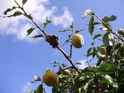 柿を食う2.jpg